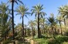 Dattelpalmen in den Oasen von Tozeur, Tunesien, einspurig-unterwegs